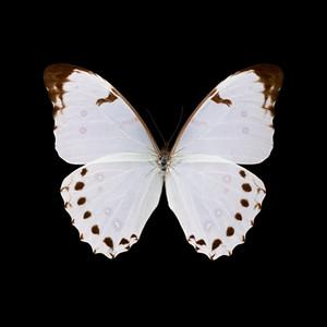 Morpho polyphemus luna-R-M.jpg