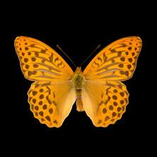 Argynnis paphia-R.jpeg