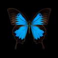 Papilio ulysses.jpg