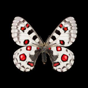Parnassius nomion richthofeni-M.jpg
