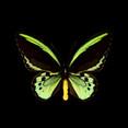 Ornithoptera priamus euphorion-R.jpg