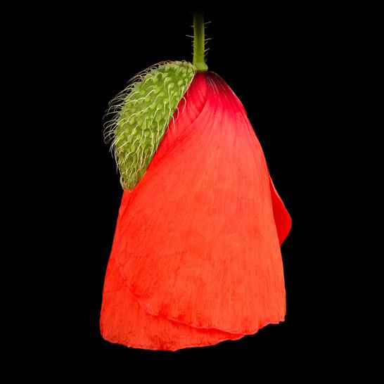 20-Poppy-I.jpg