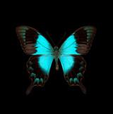 Papilio pericles.jpg