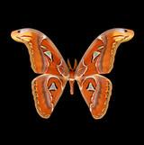 Attacus atlas-M.jpg