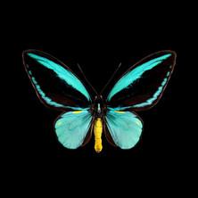 Ornithoptera aesacus.jpeg