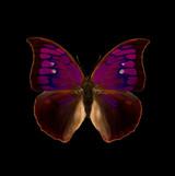 Anaea tyrianthina-R.jpg