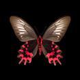 Atrophaneura semperi albofasciata-V-F.jpg