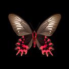 Atrophaneura semperi albofasciata-V-F.jp