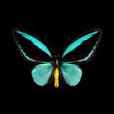 Ornithoptera aesacus.jpg