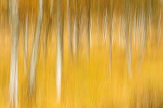 Autumnal birches III