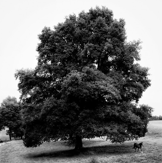 The great Oak and the Horse (Le grand chêne et le cheval)