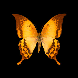 Meandrusa payeni ciminius-R-F.jpg