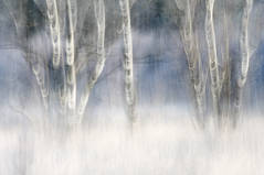 Frozen birches