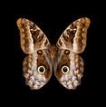 Caligo idomeneus-V.jpg