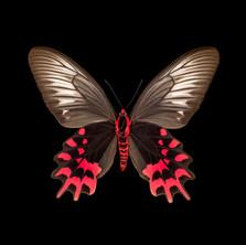 Atrophaneura semperi albofasciata-V-F.jpeg