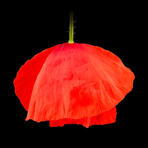 Poppy  IV Nature Abstraction Macro Photography by Pascal Goet