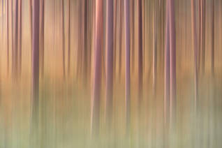 Beneath the pine trees II