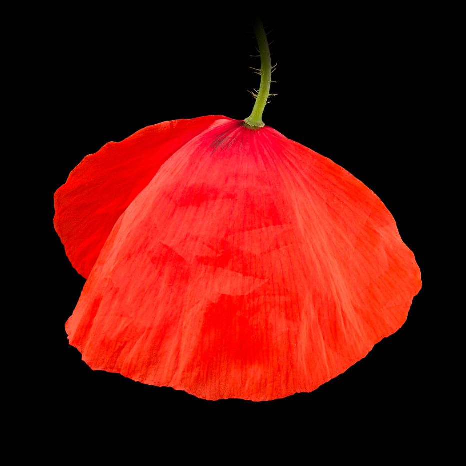 22-Poppy-III.jpg