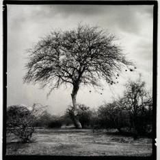 The Weaver Tree.jpg