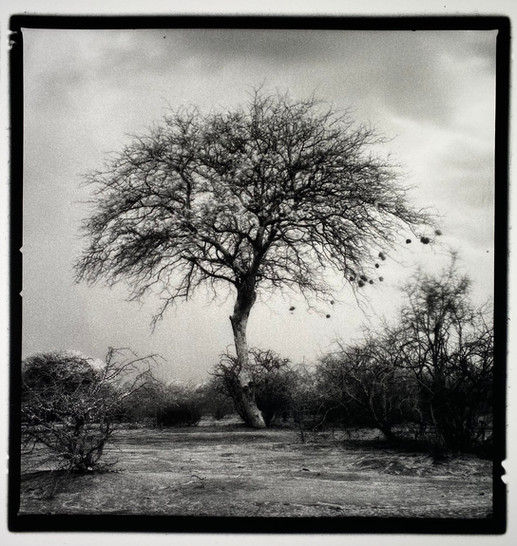 The Weaver Tree (in the storm)