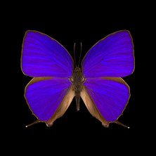 Arhopala herculina-R.jpeg