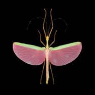 Marmessoidea rosea-F.jpg