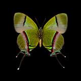 Thecla coronata-M-V.jpg