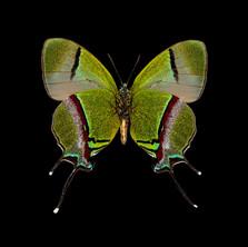 Thecla coronata-M-V.jpeg