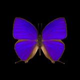 Arhopala herculina-R.jpg