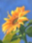 Sunflower_Best small.jpg