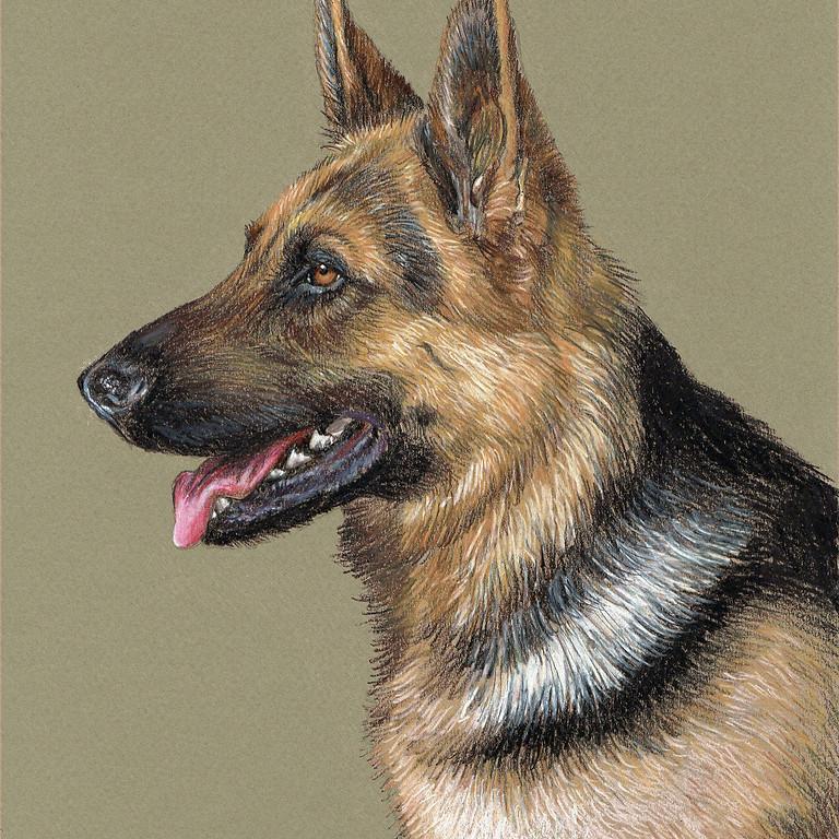 """""""German Shepherd"""" Prismacolor Color Pencil"""