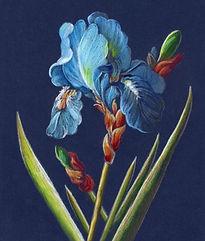 Blue Iris CP.jpg