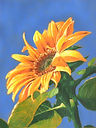 Sunflower_Best copy.jpg
