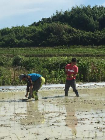 自然栽培米で生酛造り その2