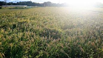 自然栽培米で生酛造り その3