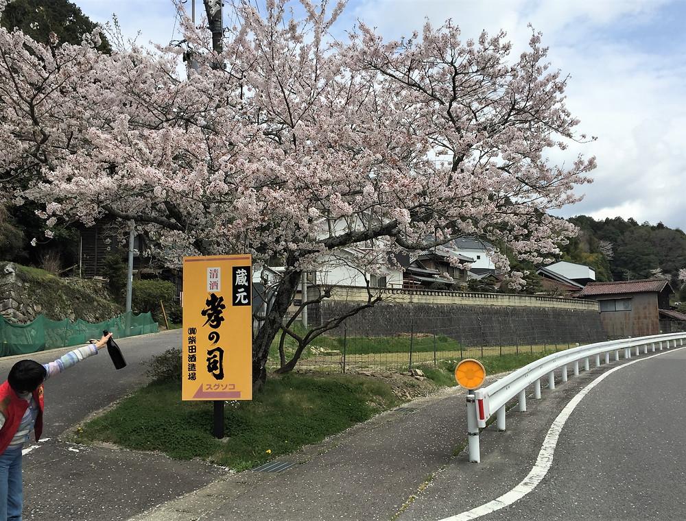 桜満開の柴田酒造場