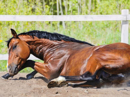 How to recognize when your horse colics?