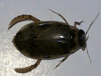 Predatory diving beetle, Dytiscidae Biological control of Mosquito larva- Malaria