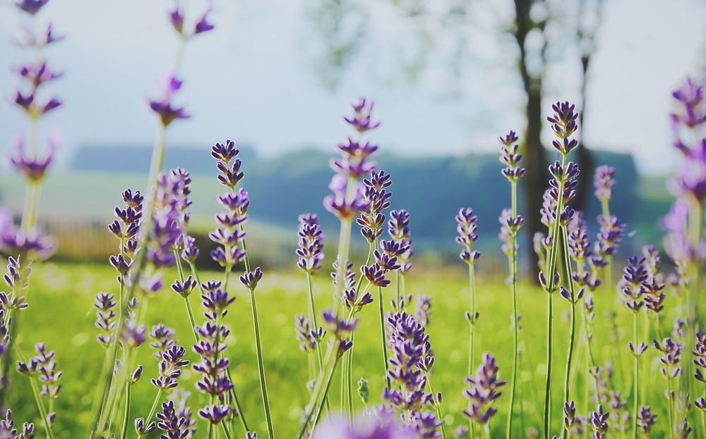 lavender - plastic free July