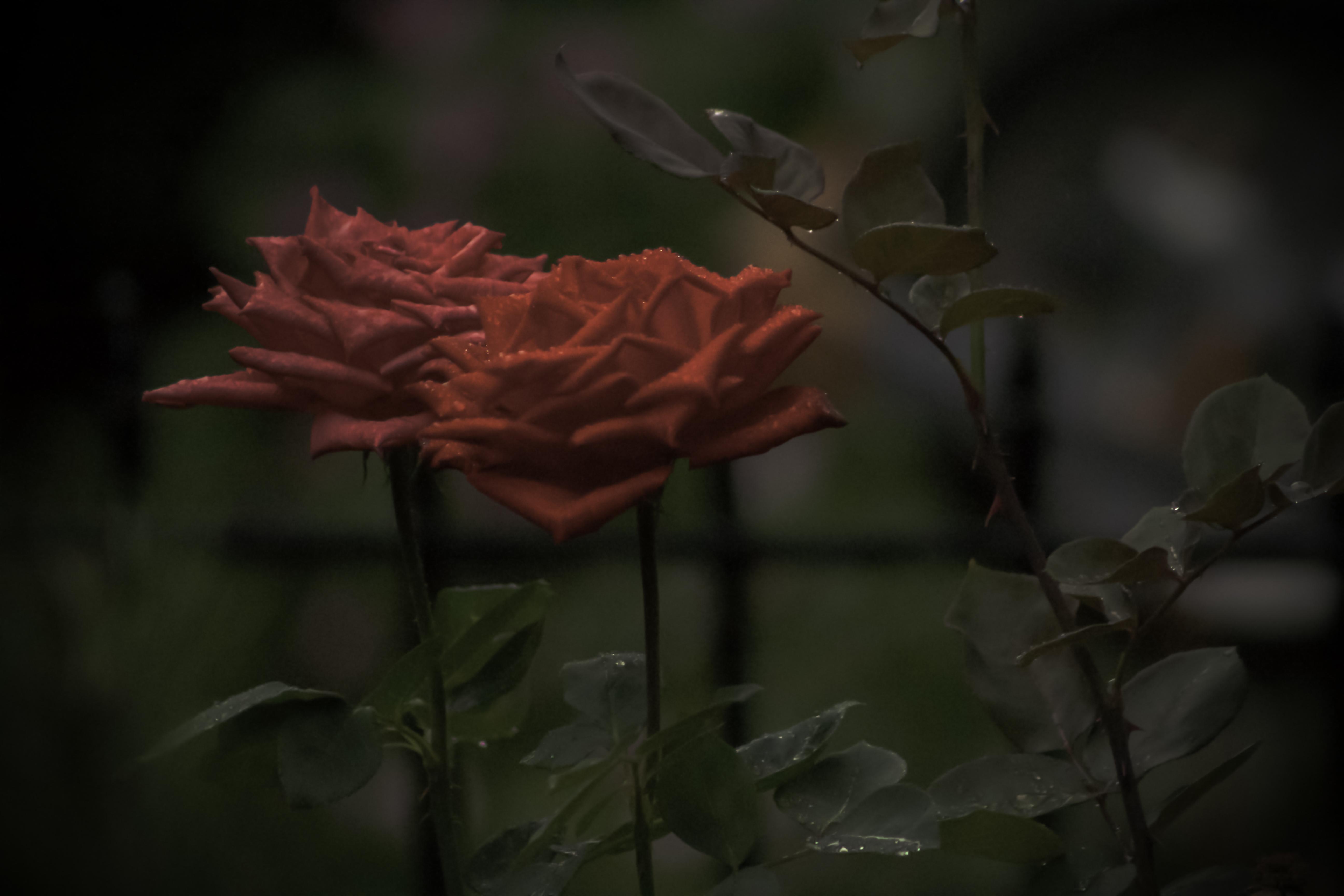 RosesLandscape