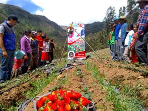 Inauguración del emprendimiento ganador colectivo del fondo Wiñay Allish Fresa: Las buenas fresas de