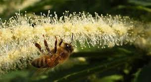 Une abeille sur le châtaignier