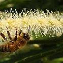 Une abeille sur un châton de châtaignier