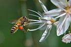 Une abeille allant récolter du pollen.