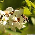Une abeille sur l'acacia