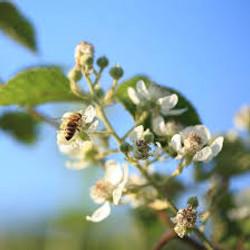 Une abeille sur la ronce
