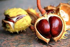 chestnut-1705374__340.jpg