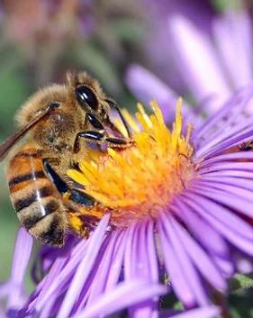 abeille fleurs violette.webp