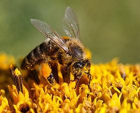 abeille et pollen.jpg