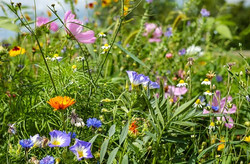 Une jachére fleurie